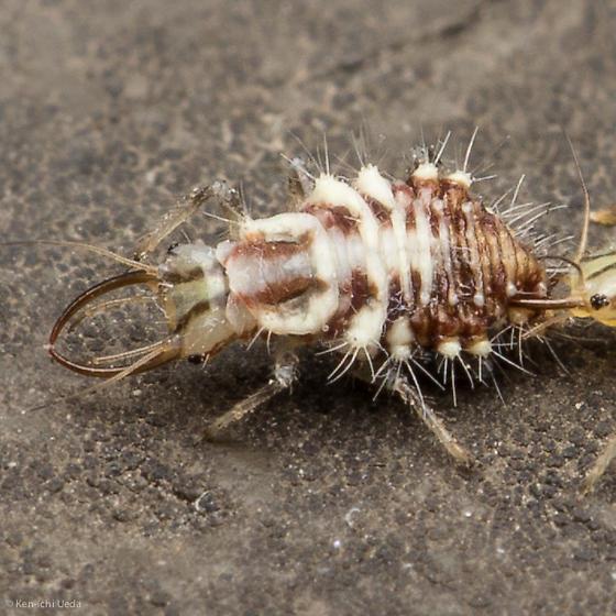 Unknown neuropteran larva