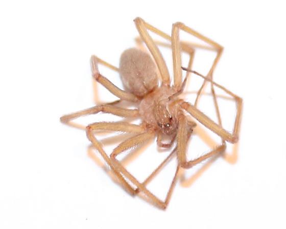 brown recluse - Loxosceles