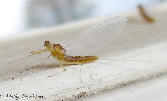 lots o mayflies - Nixe - female