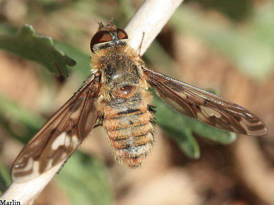 Bombyliidae - Poecilanthrax willistonii