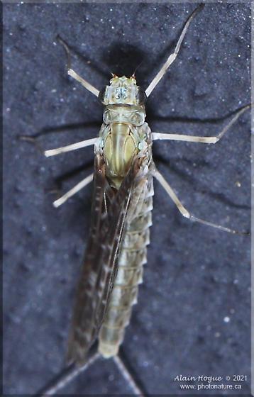Callibaetis skokianus