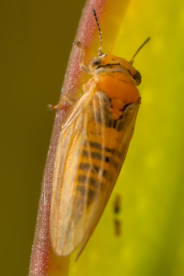 Ctenarytaina spatulata - female