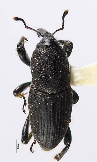 Another Sphenophorus? - Sphenophorus coesifrons