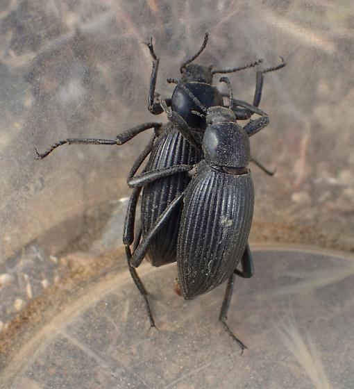 Darkling Beetle - Eleodes hispilabris - male - female