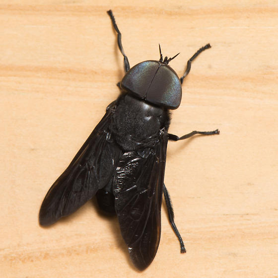 Tabanus atratus - male