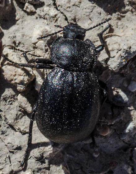 Darkling Beetle - Philolithus