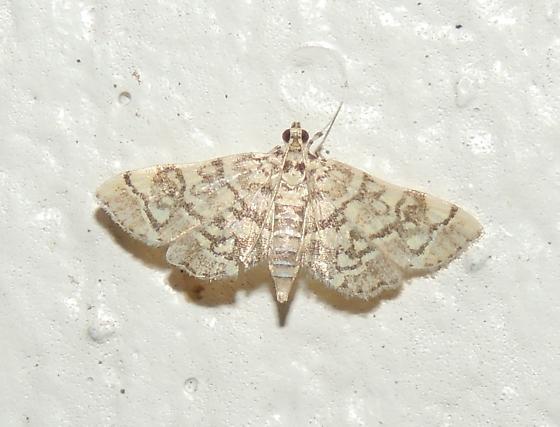 Moth Sp? - Apogeshna stenialis