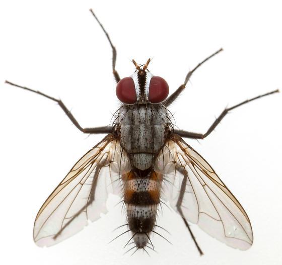 Female, Zelia? - Zelia gracilis