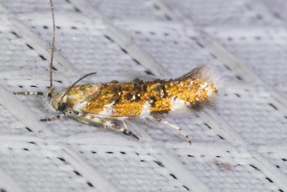 Gelechioidea 09/19/20 - Stagmatophora iridella