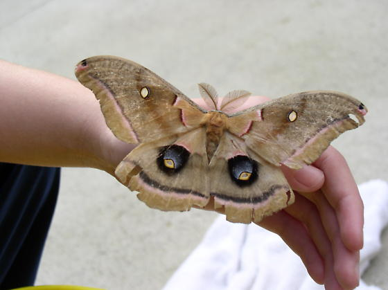 Antheraea polyphemus - male