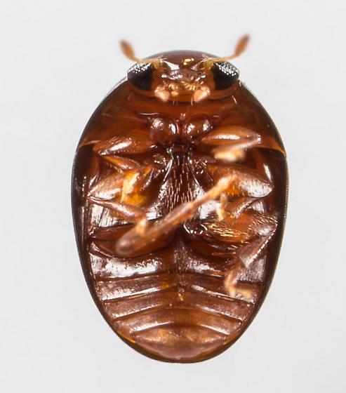 Small Beetle - Acylomus - male