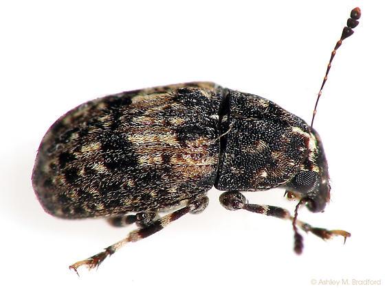 Euparius? - Piesocorynus mixtus