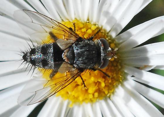Fly on Fullerton Flowers - Chetogena