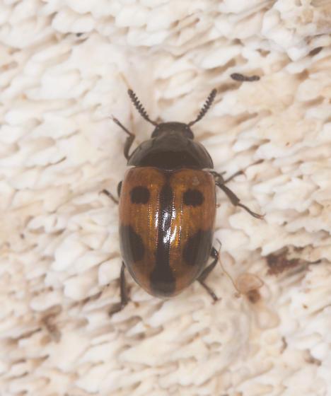 Endomychus biguttatus? - Diaperis maculata