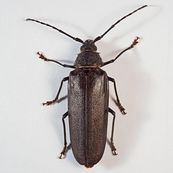 Trichocnemis spiculatus ? - Trichocnemis spiculatus