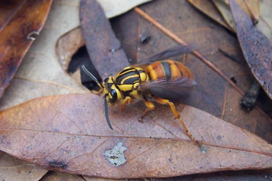 Wasp - Vespula squamosa - female