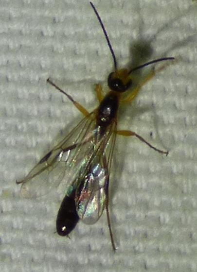 unknown insect - Pseudomyrmex gracilis