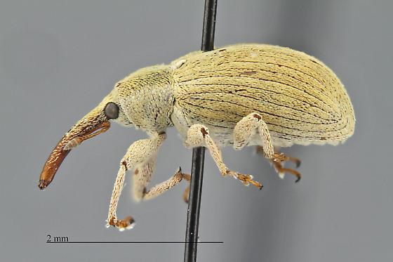 Curculionidae - Anthonomus sphaeralciae