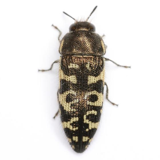 Acmaeodera decipiens LeConte - Acmaeodera decipiens