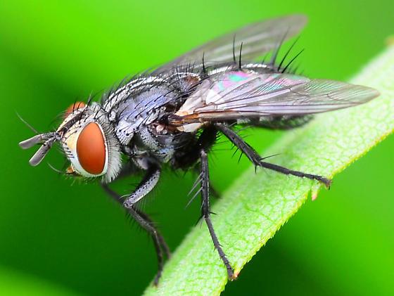 tachnid fly? - Exorista - female