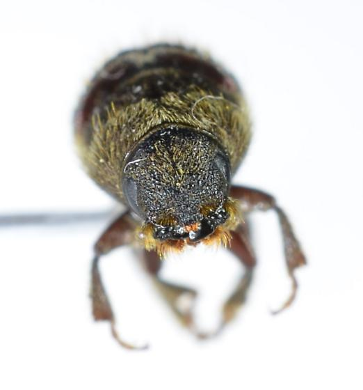 Dendroctonus? - Dendroctonus pseudotsugae