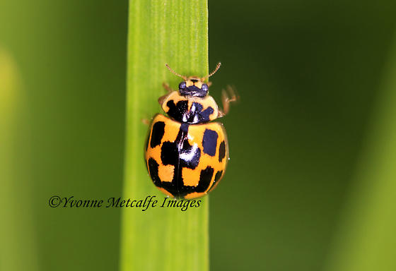 14-spotted ladybird - Propylea quatuordecimpunctata
