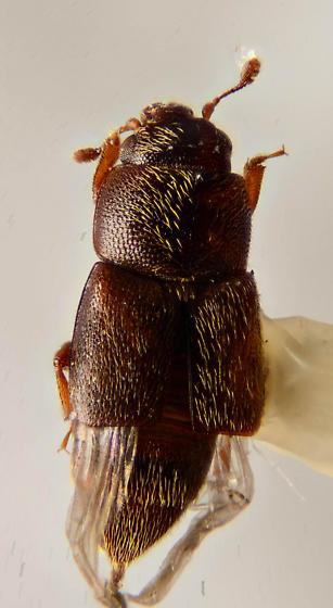 Small Nitidulid ? - Carpophilus - female