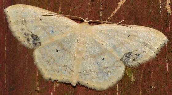 Peppered Moth? - Scopula limboundata