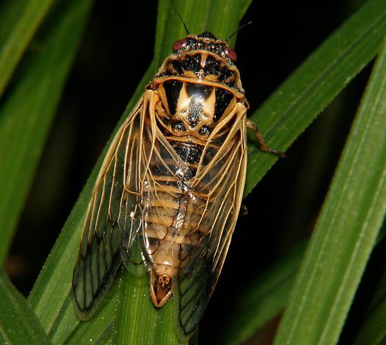 Walking Cicada - Okanagana synodica - female