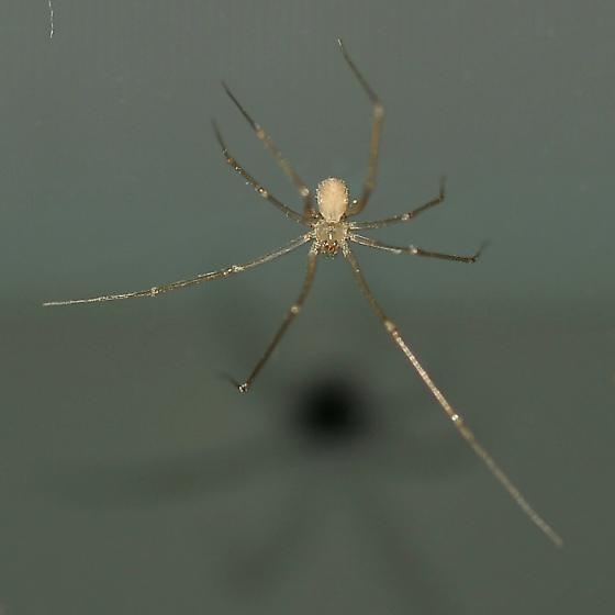Hunting on my computer - Spermophora senoculata