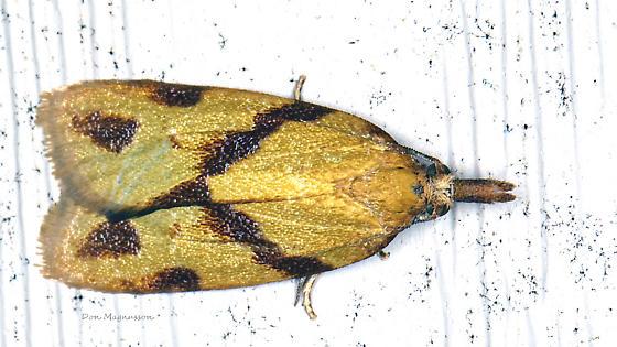 Moth - Sparganothis unifasciana