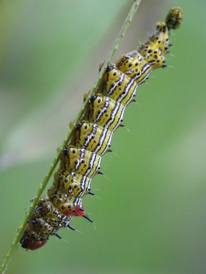 Caterpillar - Schizura concinna