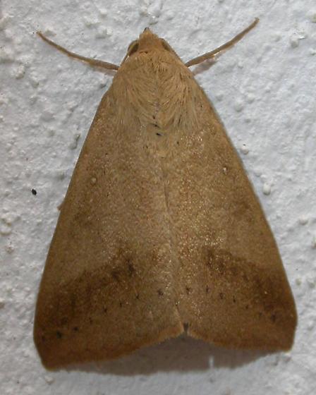 Moth 2 - Mocis disseverans