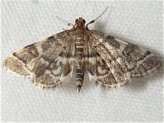 moth ID - Anageshna primordialis
