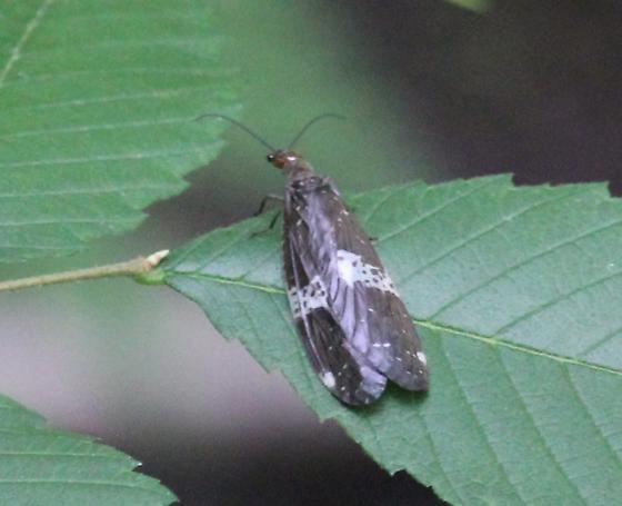 Dobsonfly - Nigronia fasciata