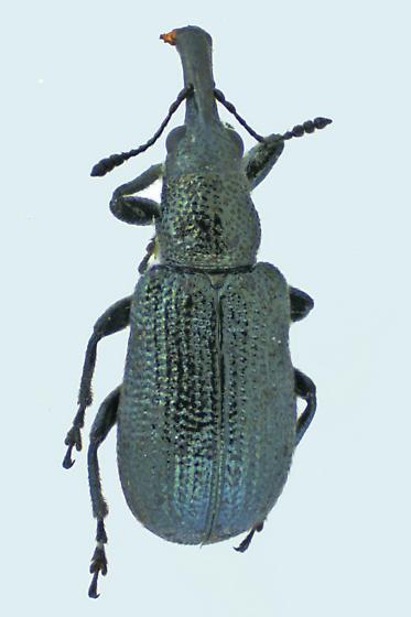 Weevil beetle - Temnocerus
