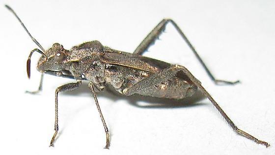 Broad-headed Bug - Tollius