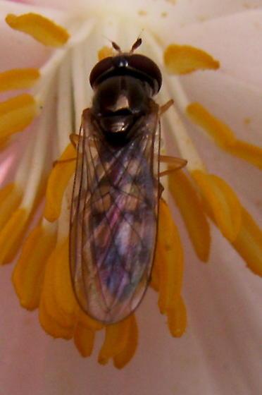 Fly - Melanostoma mellinum - female