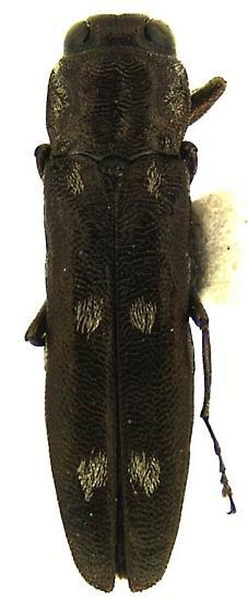 Agrilus pseudofallax (Herbst) - Agrilus pseudofallax - male