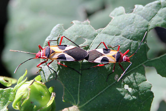 Some type of seed bug?  - Dysdercus concinnus