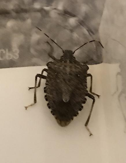 Mystery Bug - help? - Halyomorpha halys