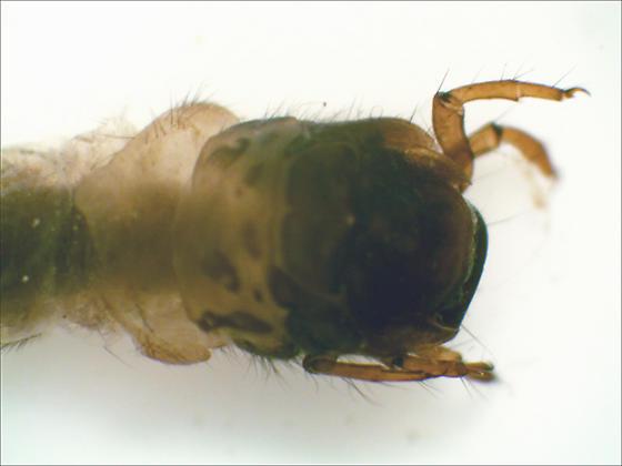 Goeridae larva