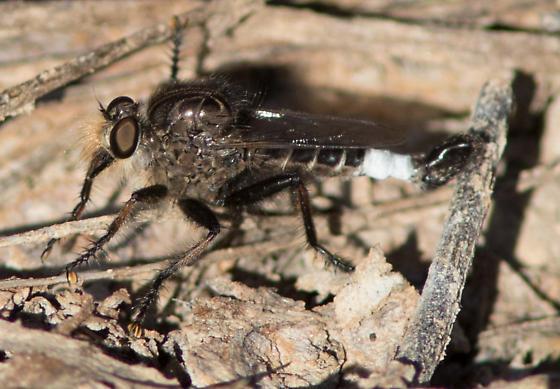 robberflyA91215 - Efferia pogonias - male
