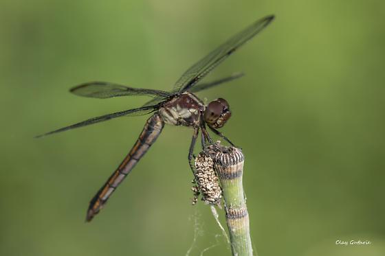 Dragonfly type - Libellula