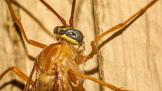 Ophion spp. - Enicospilus glabratus - female