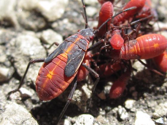Red and Black Bugs - Boisea trivittata