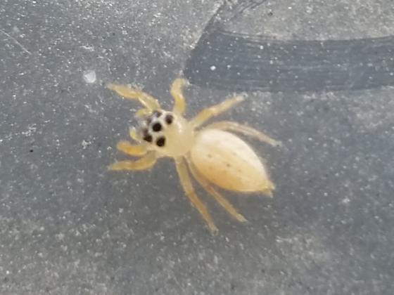 Small cream yellow jumping-like spider with black dot - Colonus