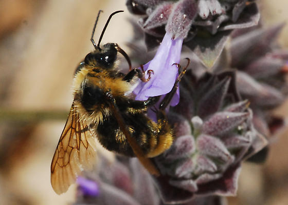 OC Hymenoptera #22 - Bombus californicus - male