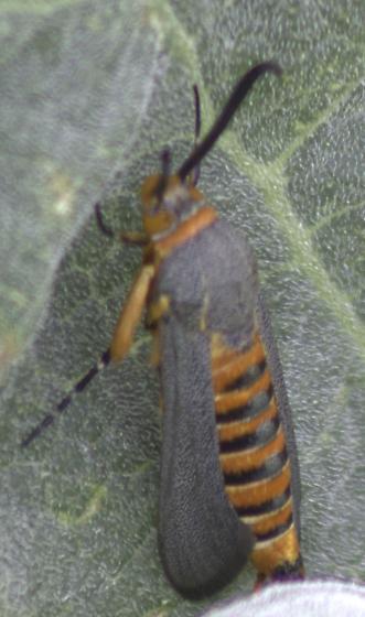 Any ideas what this is? - Melittia grandis