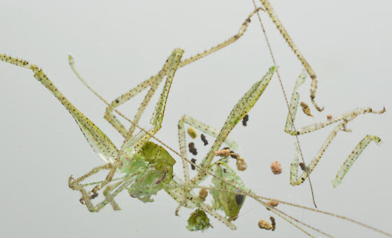 Microcentrum - eggs and nymphs - Microcentrum